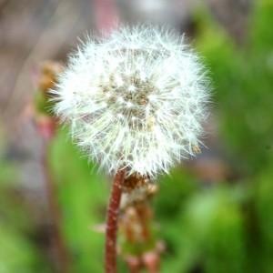 dandelion_seedhead_large