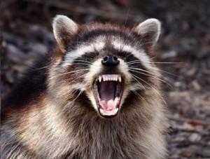 mad-raccoon